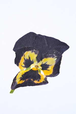 Dried flower on white background photo