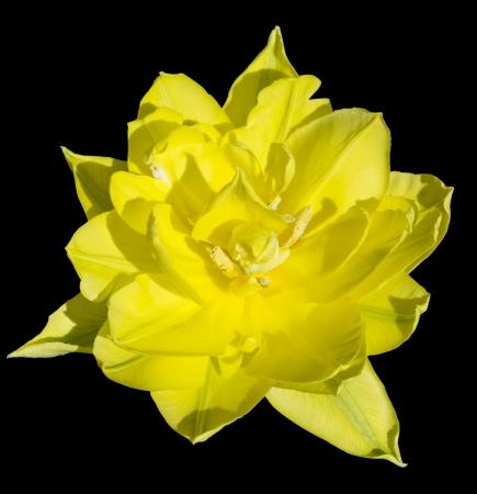 Maravilhoso dupla closeup tulipa amarela sobre fundo preto