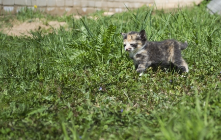 trichromatic: Tricolor kitten in grass