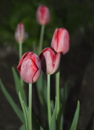 Red tulips at night in a garden