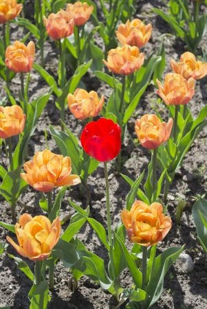 Released red tulip  in garden Stock Photo - 15198352