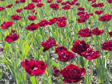 Campo de tulipas bordeaux