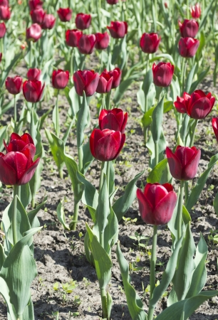 Field of bordeaux tulips photo