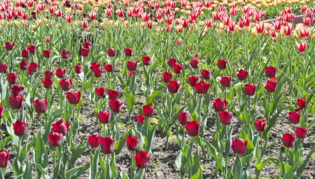 Field of different kinds of tulips photo