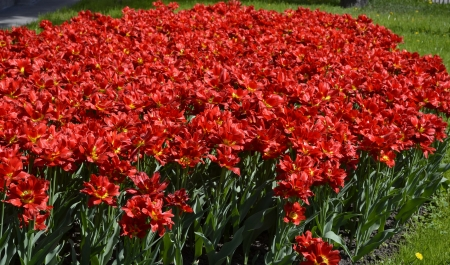 Flowerbed of bright red tulips photo