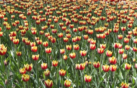 Field of commercial cultivatied yellow with red tulips photo