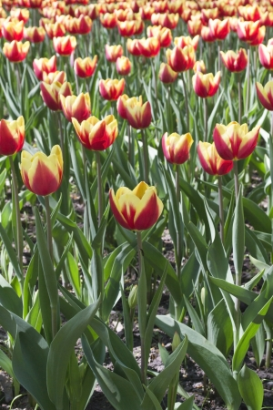 Campo do amarelo cultivatied comercial com tulipas vermelhas