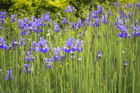 Beautiful violet iris garden in summer Stock Photo - 15266209