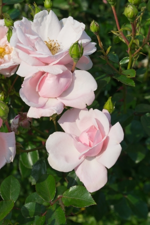 gently: Gently pink rose in a garden Stock Photo