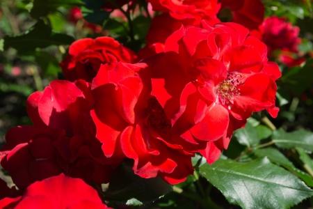 Rosa vermelha grossa flores