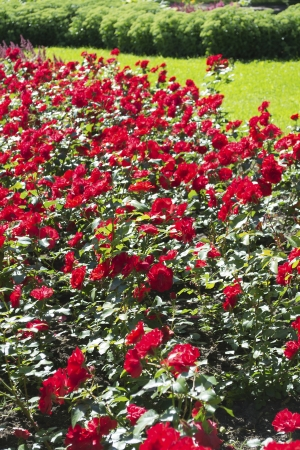 Flowerbed of thick red rose flowers