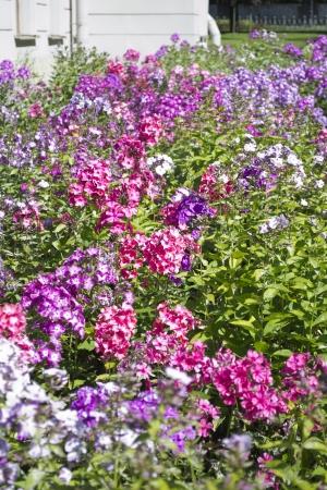 primula: Primula flowers in a garden