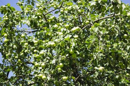 Ma��s verdes na �rvore Banco de Imagens
