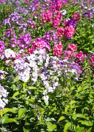 Primula flowers in a garden