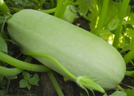 Vegetable marrow on the patch