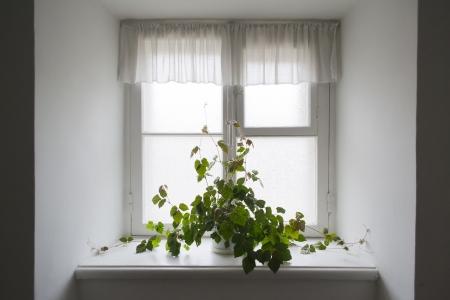 Climbing plant in a pot on the windowsill Stock Photo