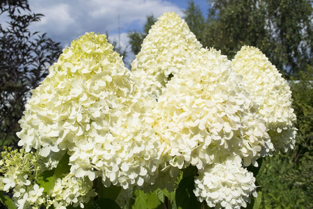 White hydrangea in full bloom in a garden