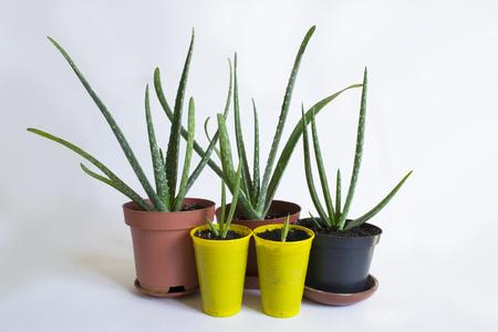 Aloe Vera Plant in pots Agava americana Stock Photo