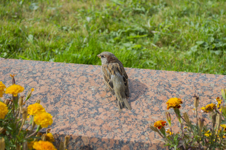 City sparrow is sitting on marble stone from the back