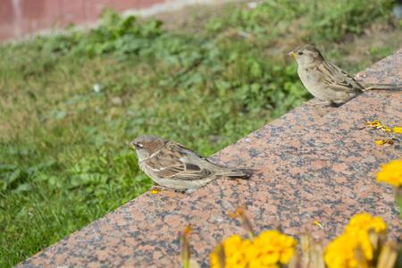 City sparrow on the marble slab