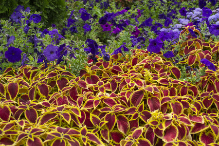 Coleus and periwinkle flowers