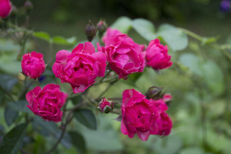Pink roses in a garden Stock Photo