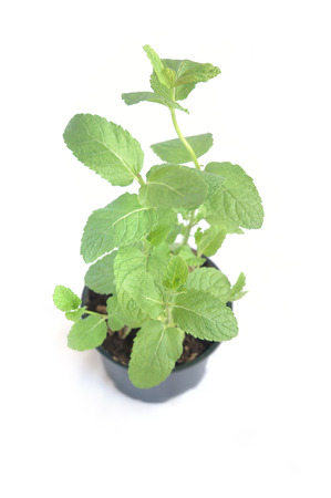 Mint in flowerpot on white, top view photo