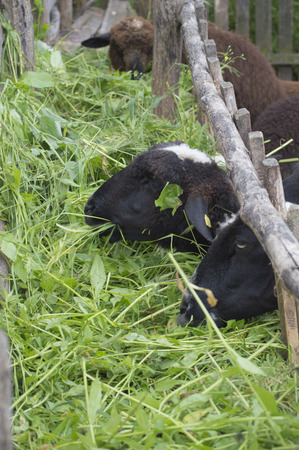 sheepfold: Three sheep eat fresh grass in sheepfold