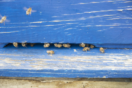 Bee entrance in blue hive Stock Photo