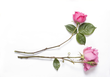 two roses on white, horizontal, copy space