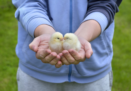 man holding two little chickens photo
