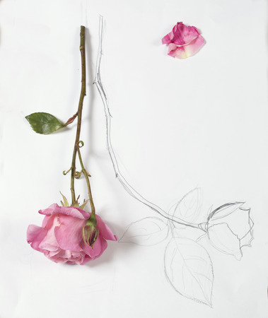 vertical hand drawing and image of roses with petal ona paper