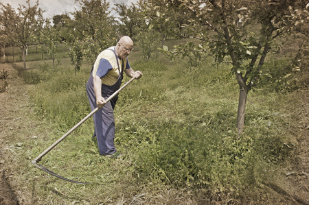 scythe: Old peasant mowing grass on traditional way with scythe