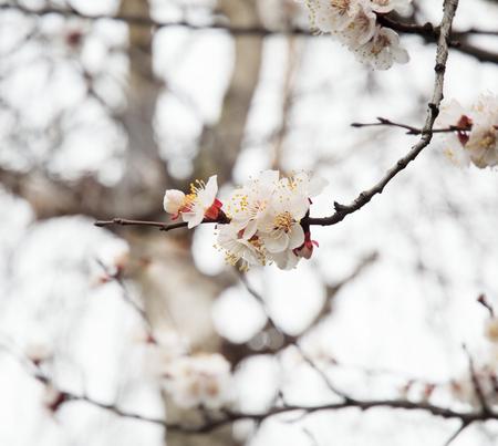 Focus on one white tree flower Stock Photo