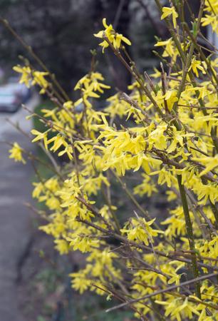 Focused yellow tree flowers Stock Photo