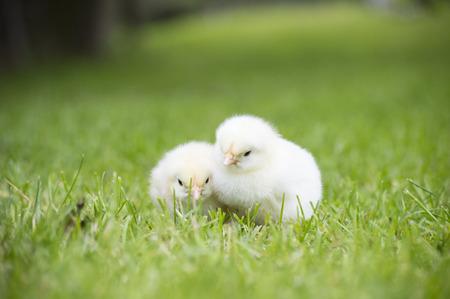 two newborn chicken in field of grass Stock Photo
