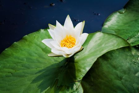 close up of a waterlily, outdoor shot Stock Photo - 5563983