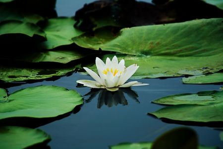 white water-lily and its reflection Stock Photo - 5563969