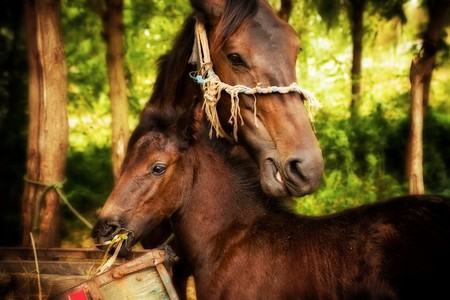 mother and baby red horses eating  hay Stock Photo