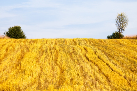wheat field after harvest with sky and trees in background photo