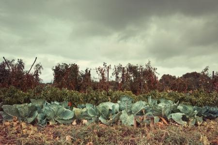 autmn: vegetable garden with organic food in autmn rainy day