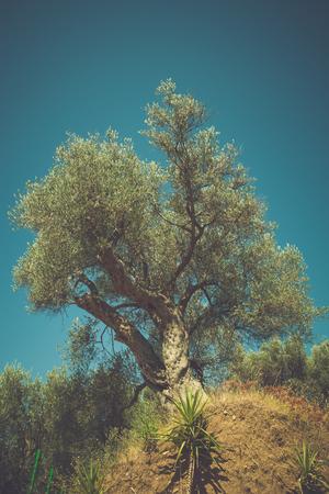 huge tree: huge old olive tree against blue summer sky