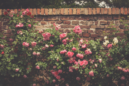 background of gentle light pink roses on stonewall in garden, summer day