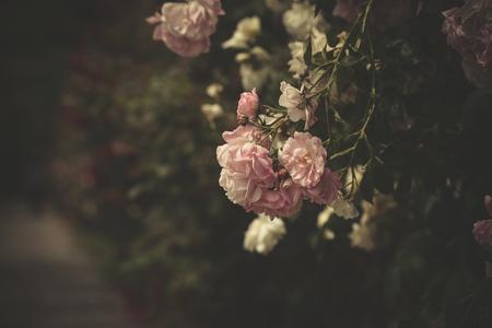 経路選択の焦点によって穏やかな光のピンクのバラ 写真素材 - 46646194