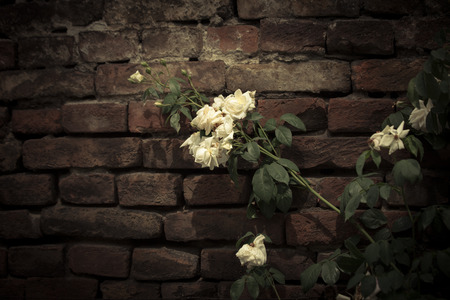 passe: lonely white roses on the old stone wall