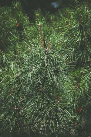 arbol de pino: closeup of pine tree outdoor day shot