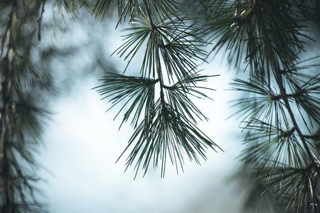 evergreen branch: primer plano de una rama de �rbol de hoja perenne Foto de archivo