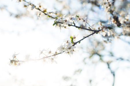 herald: blossomed tree branch herald of spring closeup