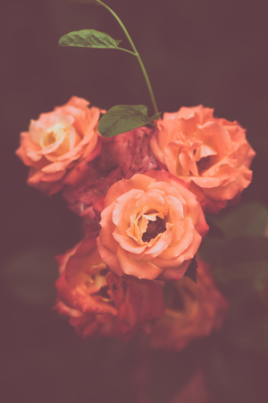 depth of field: beautiful orange garden roses background closeup shallow depth of field