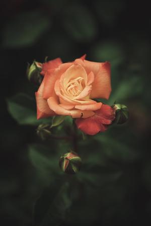 depth: beautiful garden rose background closeup shallow depth of field